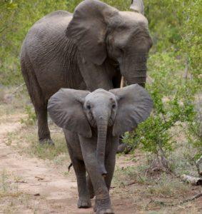 Baby elephant and mom in Africa (Bob Ingle photo)