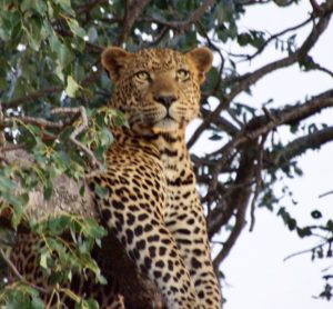 Leopard (Bob Ingle Photo)