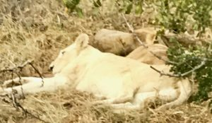 Rare white lion of the Timbavati (Bob Ingle photo)